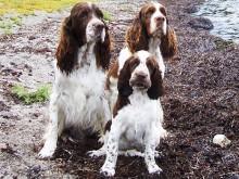 Tre springer spaniels